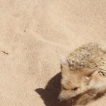пустынный ежик на Шамбале